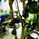 ジャボチカバ10号鉢植え樹高約1.6m(結実実績株)