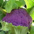 [7〜9月まき 野菜タネ]カリフラワー(ブロッコリー) :紫カリフラワー スーパーバイオレット2