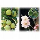 梅2種セット:南高(なんこう)と花香実(はなかみ)