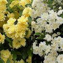 モッコウバラ:黄花・白花八重3〜3.5号ポット2株セット