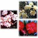 キョウチクトウ(夾竹桃):八重咲き3.5〜4号ポット3種セット