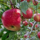 リンゴ2種セット:ふじ(富士)と津軽(つがる)