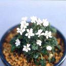姫フウロ草:白八重2.5号ポット2株セット