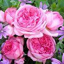 [17年5月中旬予約]デルバールローズ:ラ・ローズ・ドゥ・モリナール新苗4号鉢植え