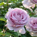 [17年5月中旬予約]デルバールローズ:ローズシナクティフ新苗4号鉢植え