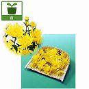 食用菊:黄(松風) 2.5号ポット4株セット