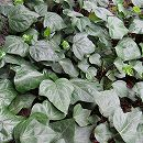 [送料無料]ヘデラ カナリエンシス(オカメヅタ):緑葉3〜3.5号12株セット