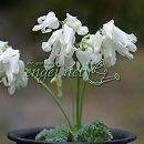 四季咲きコマクサ(ディセントラ):白花 3〜3.5号ポット2株セット