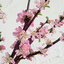 ユスラウメ:紅花赤実4〜5号ポット