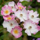 [17年5月中旬予約]つるバラ:バレリーナ新苗