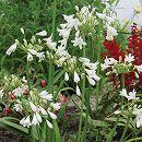 アガパンサス:ホワイト裸苗袋詰め