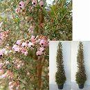 ツリー仕立て:エリカ:ジャノメエリカ7号ポット樹高1m 1対セット(2鉢セット)