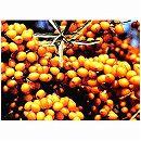 シーベリー受粉セット:フルガナとオス木のセット