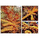 シーベリー受粉セット:メス木3種とオス木のセット