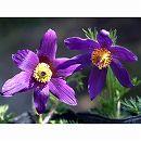 西洋オキナグサ(プルサティラ):紫花3号ポット