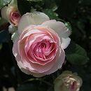 [17年5月中旬予約]つるバラ:ピエール・ド・ロンサール新苗