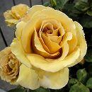 [17年5月中旬予約]つるバラ:バタースコッチ新苗