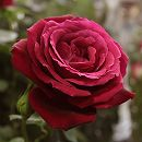 [17年5月中旬予約]つるバラ:アンクルウォーター新苗