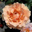 [17年5月中旬予約]つるバラ: ロイヤルサンセット新苗