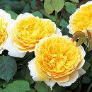 イングリッシュローズ:シャーロット・オースチン大苗5号角鉢植え