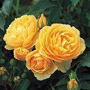 イングリッシュローズ:グラハム・トーマス大苗5号角鉢植え