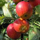 リンゴ:アルプス乙女4〜5号ポット