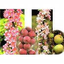バレリーナツリー2種2本セット(メイポールとボレロ)