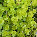 リシマキア ヌンムラリア オーレア3〜3.5号ポット20株セット
