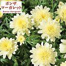 [17年2月中旬予約]ボンザマーガレット:オペラ咲き(八重咲き)レモンイエロー3.5号ポット