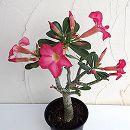 アデニウム・オベスム 砂漠のバラ5号鉢植え