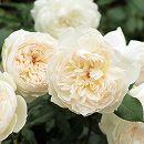 [17年5月中旬予約]四季咲中輪バラ:ボレロ新苗