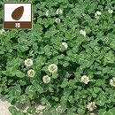 [飼料用の中葉種 タネ・放牧地の混播利用]マメ科牧草:白クローバー(シロツメグサ)フィア 1kg