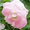 つるバラ:ピンクサマースノー(スプリングパル・春がすみ)大苗長尺6号ポット