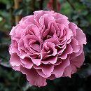 四季咲中輪バラ:夢紫(ゆめむらさき)大苗6Lポット