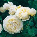 イングリッシュローズ:ウィンダミア大苗5号角鉢植え