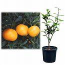 鉢植え果樹 はれひめ 8号ポット