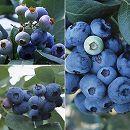 群馬県オリジナル品種ブルーベリー:3種セット(あまつぶ星・おおつぶ星・はやばや星)