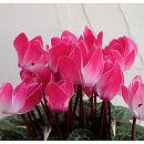 [会員限定セール]ミニシクラメン:ミニフレームピンク4号プラ鉢植え
