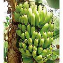 バナナ:サンジャクバナナ(三尺バナナ)3.5号ポット
