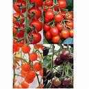 イタリアントマト4種4株セット