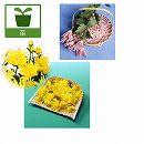 食用菊:桃花と黄花2.5号ポット2種4株セット(もってのほか・松風)