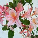 香りツツジ:トスカ(ピンク)4.5号ポット