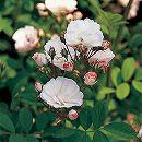 [17年5月中旬予約]つるバラ:群星(ぐんせい)新苗