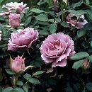 [17年5月中旬予約]ミニバラ:センチレイティング・ブルース新苗