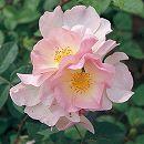 四季咲中輪バラ:小春日和(こはるびより)新苗