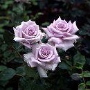 [17年5月中旬予約]ミニばら:薔薇の海(ばらのうみ)新苗