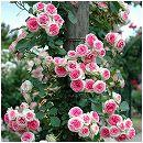 [17年5月中旬予約]つるバラ:ミミエデン新苗