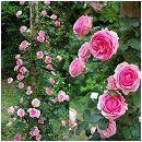 [17年5月中旬予約]つるバラ:ヒストリー新苗
