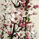 ユキヤナギ(雪柳):ピンク4.5号ポット5株セット