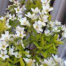 ユキヤナギ(雪柳):黄金葉4.5〜5号ポット 5株セット